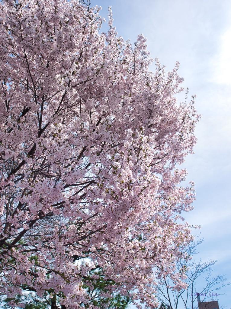 桜とマスク